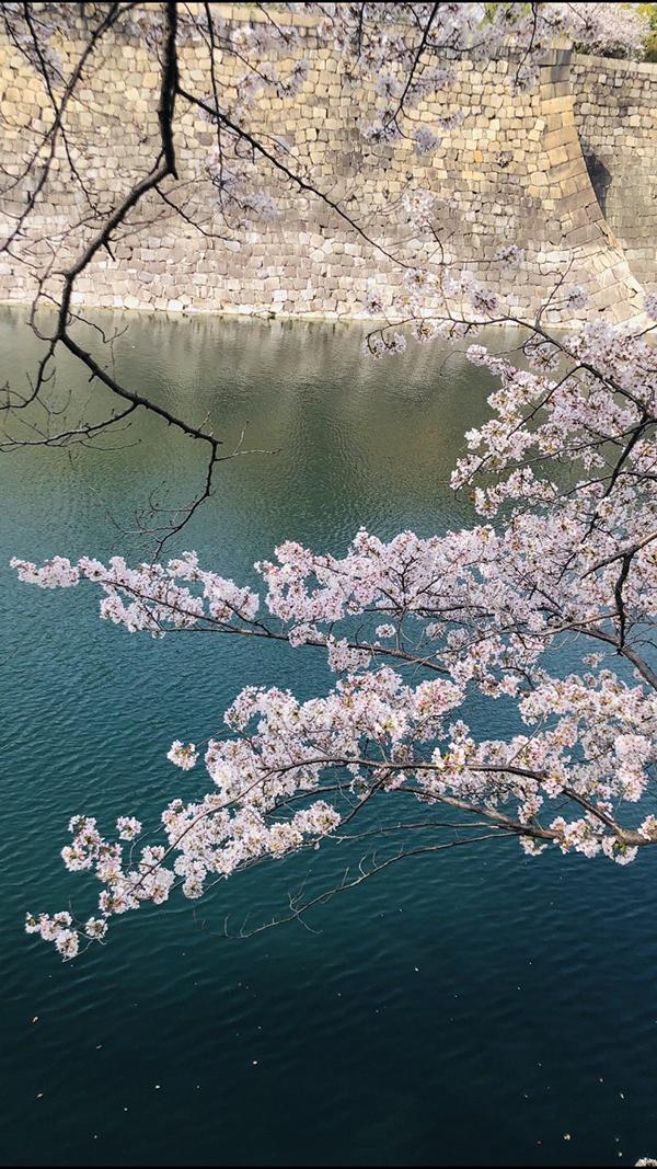 大阪城公園の桜2