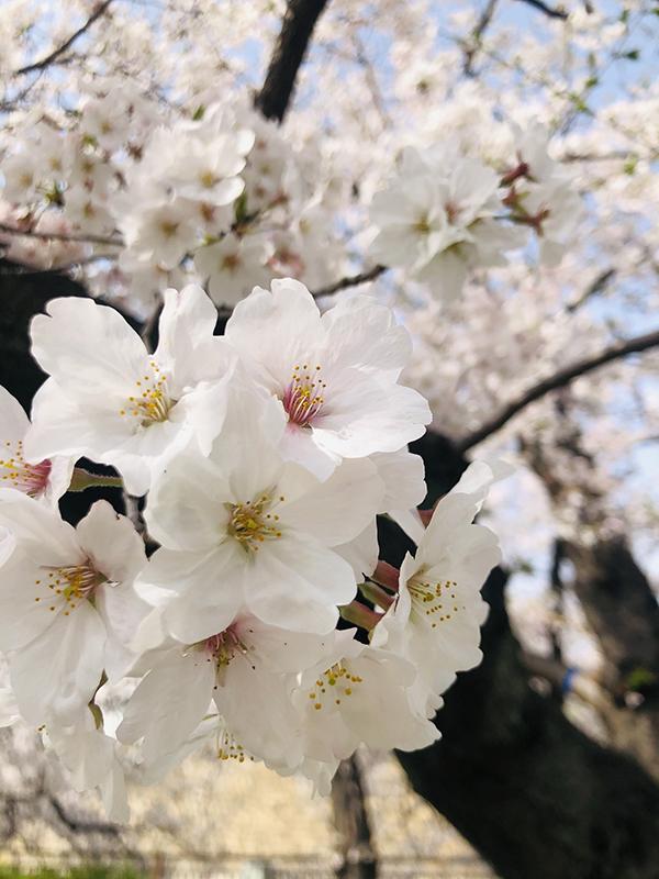 大阪城公園の桜3